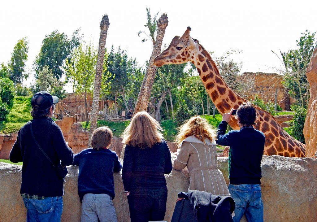 žirafa v zoologickej záhrade v Madride